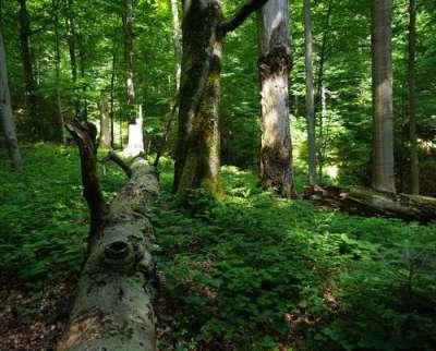 Pravěké bukové lesy Karpaty foto