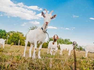Kozí farma Úvalno foto