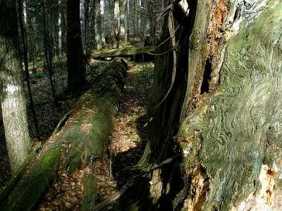 Dobročský prales foto